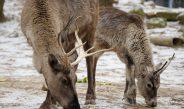 Élvezik a telet a Nyíregyházi Állatpark rénszarvasai