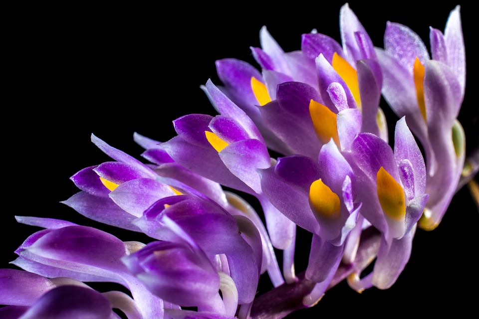 wild-orchid