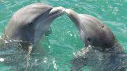 Szivaccsal kedveskedik választottjának a púposhátú delfin