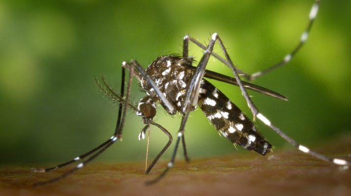 tigris szúnyog