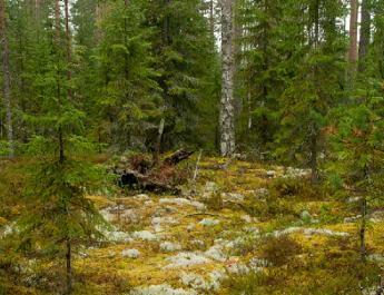 Letarolják Szibéria végtelen erdőségeit a kínaiak